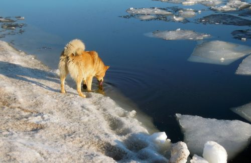 spring the ice is melting dog
