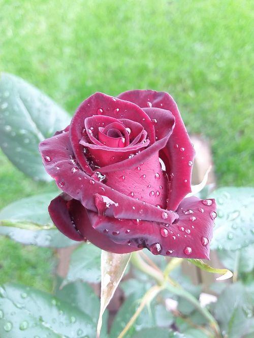 spring rosa rain