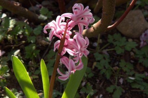 spring early bloomer crocus