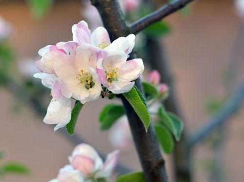 spring apple tree bloom