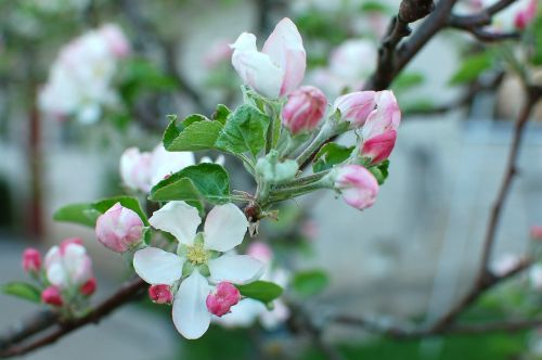 spring blossom apple