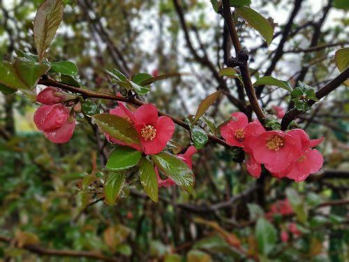 spring flowers chaenomeles