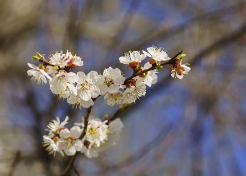 spring apricot tree