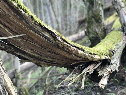 pavasaris,mediena,medis,miškas,gamta,medinis,žalias,lauke,pavasaris