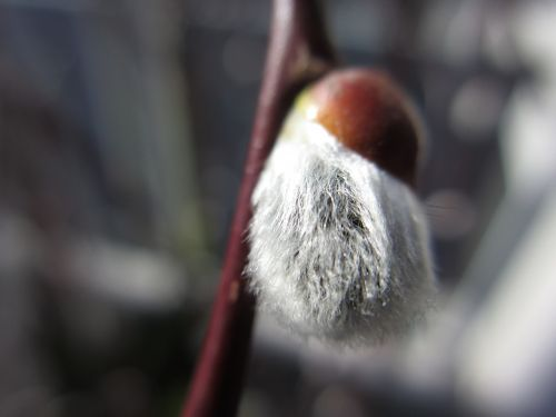 spring willow catkins bud