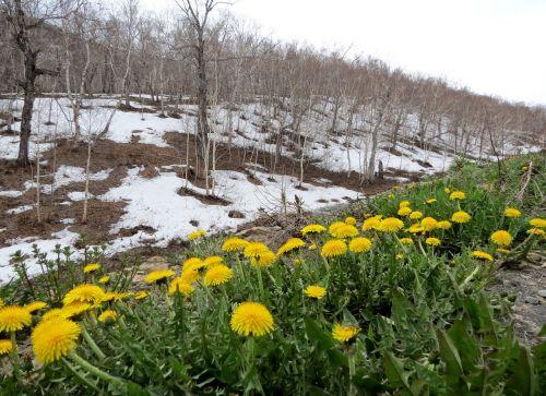 spring dandelions slope