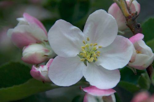 spring apple apple flower