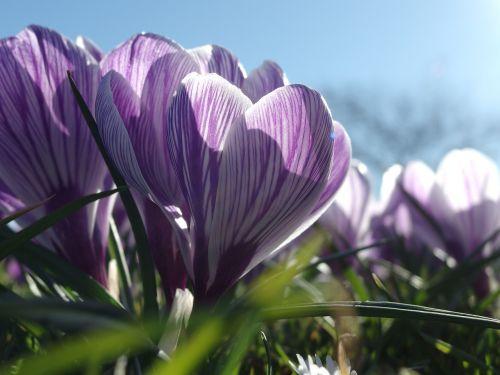 spring awakening crocus