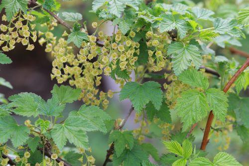 spring currant nature