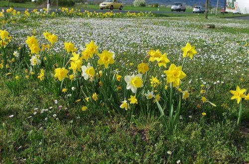 spring meadow osterglocken