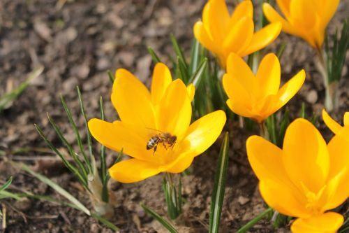 spring krokos flower