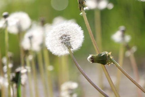 spring sonchus oleraceus dandelions