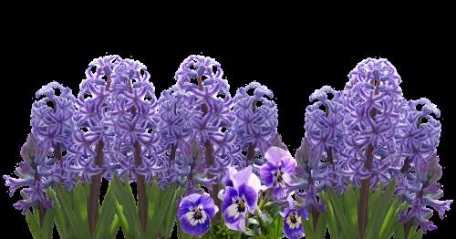 spring hyacinth nature