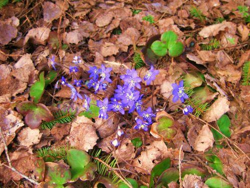 spring pennywort forest