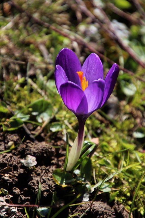 spring one krokus