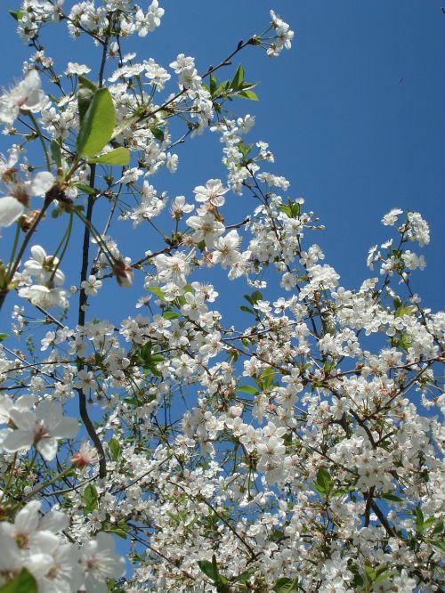 spring flowers flowering tree