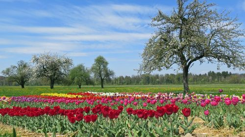 spring spring meadow tulips