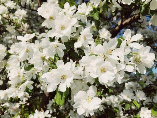 spring  flower  blossom