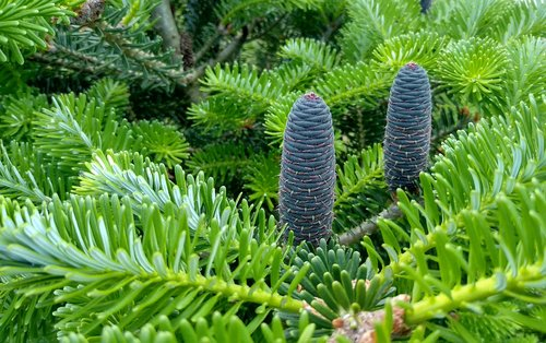 spring  spruce  pine cone