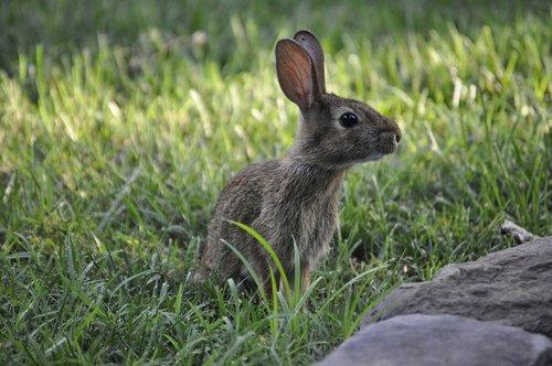 spring  bunny  rabbit