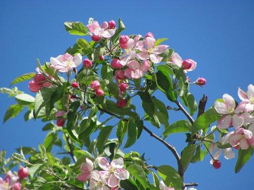 spring  flowering branch  branch of peach