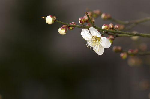 spring plum plants