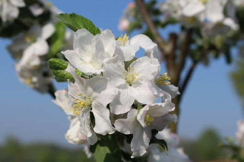 spring  apple blossom  nature