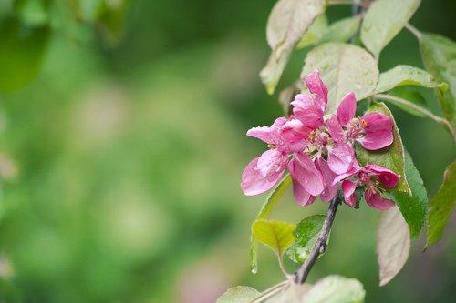 spring  apple  flower