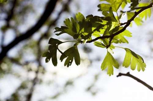 spring green leave