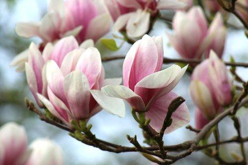 spring  magnolia  flower