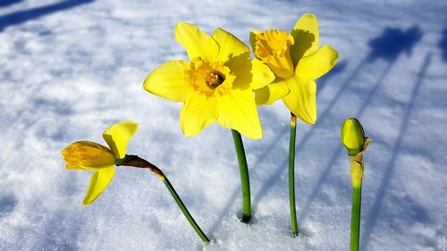 spring  narcissus  snow