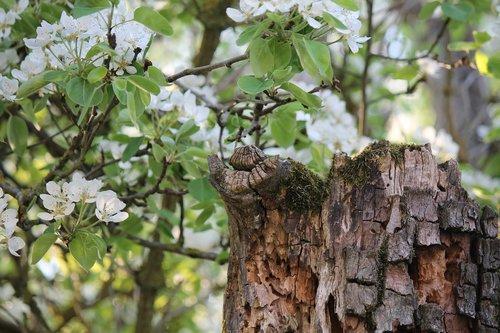 spring  pear  pear blossom