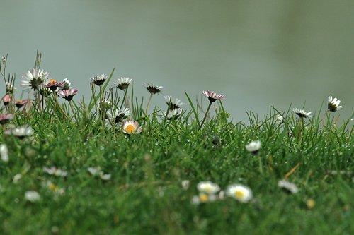 spring  daisies  margaret