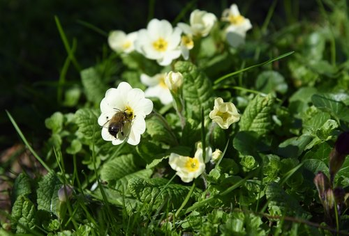 spring  cowslip  bee