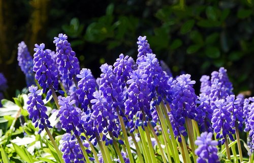spring  hyacinth  garden