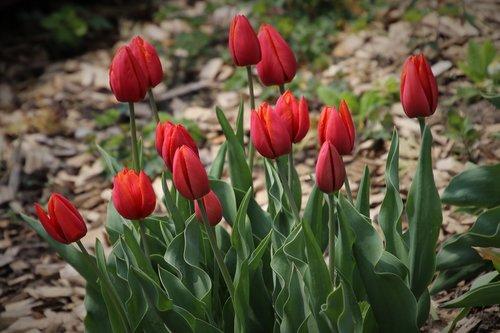 spring  garden  tulips