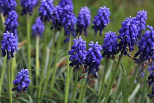 spring  muscari  grape hyacinths