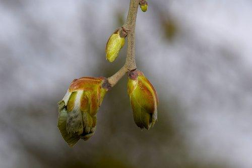 spring  bud  plant