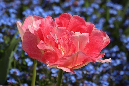 spring  pink tulip  blue aubrieta