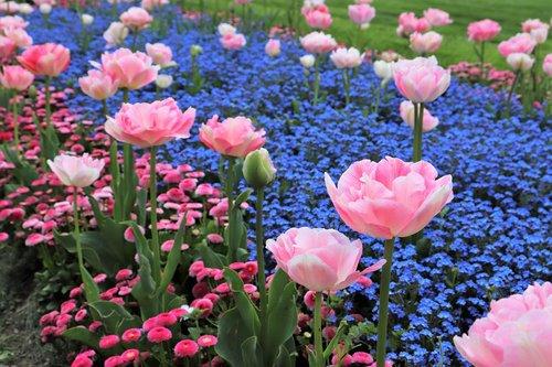 spring  pink tulips  blue aubrieta