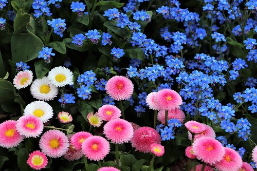spring  pink and white daisy  bellis perennis