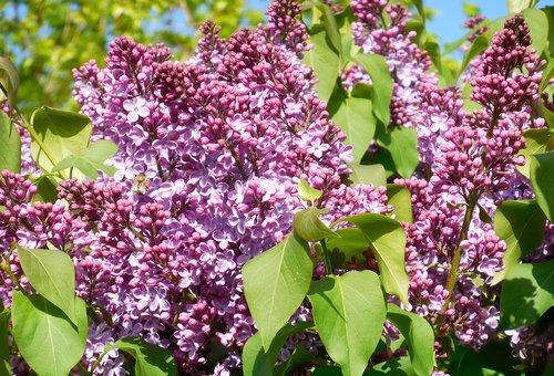 spring  lilac  syringa