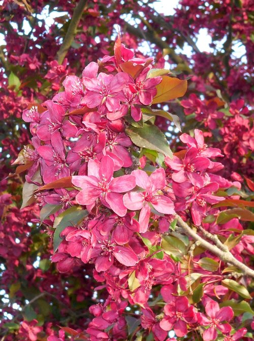 spring  flower  apple tree