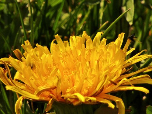 spring  dandelion  close up