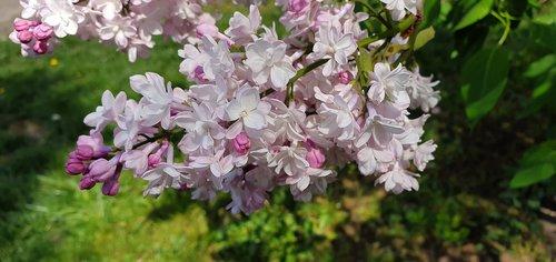 spring  picnic  bush