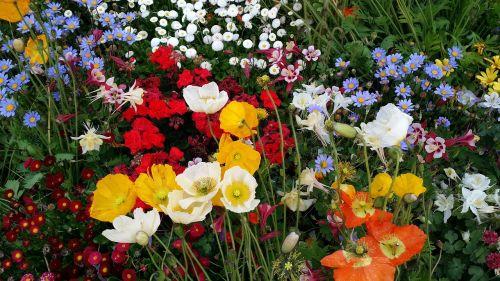 spring flowers poppy
