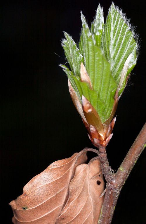 spring beech bud