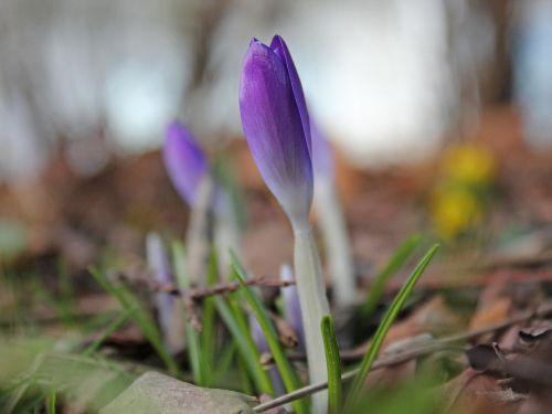 spring herbstzeitlose purple