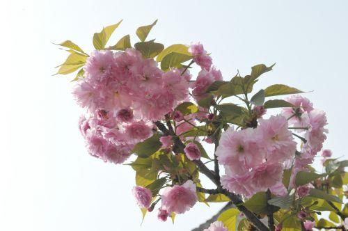 spring begonia ching ming