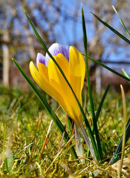 spring crocus yellow